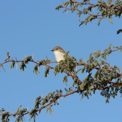 Camelthorn tree-kalahari