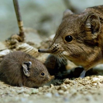 Genus Macroscelides (elephant shrew)-2