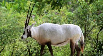 arabian-oryx-2