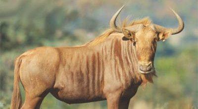 gold wildebeest
