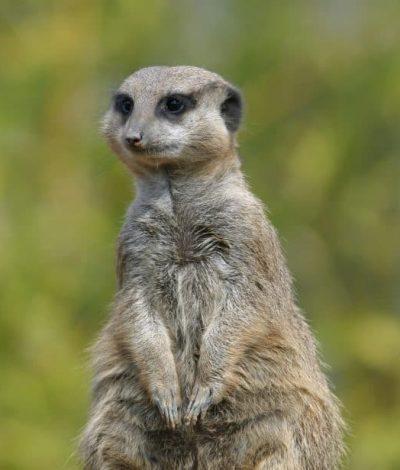 meerkat-kalahari