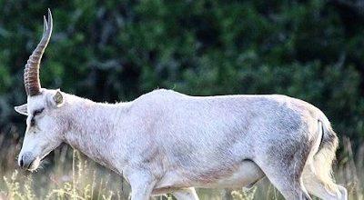 white-blesbok