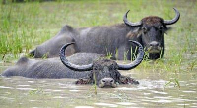 wild_water_buffalo