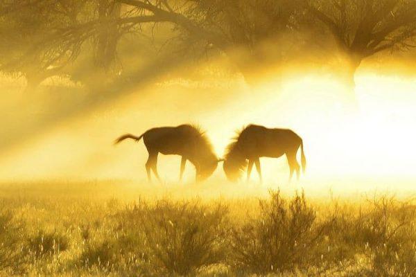 wildebeest-3